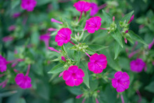 Pink Mirabilis Flowers. Night ...