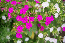 Pink And White Mirabilis Flowe...