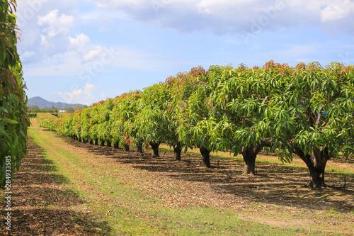 Obraz na plátně Mango trees on farm. Mango plantation