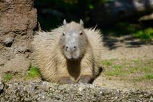 View Of A Capybara (Hydrochoerus Hydrochaeris)