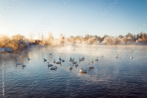 Poster Cygne View of the winter lake with swans.