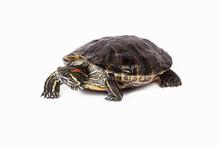 Red Ear Slider Turtle Walking ...