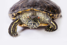 Red Ear Slider Turtle Walking ...
