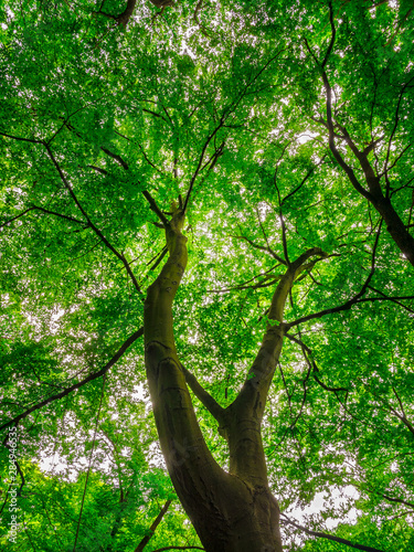 european-beech-or-beech-tree-fagus-sylvatica-low-angle-view-into-the-crown-of-a-mighty-and-tall-tree