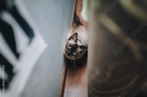 Fotografía  A beautiful and funny blue-eyed Siamese cat hid from its owner and looks out near the wall, playing with it
