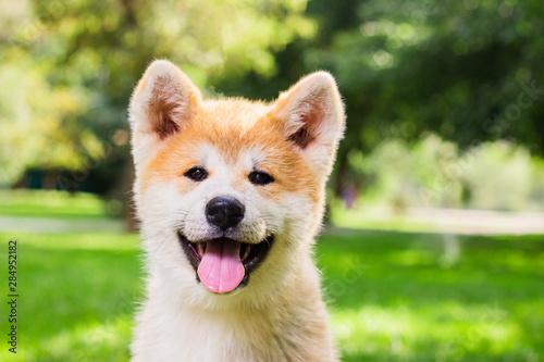 Portrait of a puppy purebred Japanese dog Akita inu in the park Canvas Print
