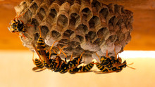 Close Up Of Wasp Nest - The Wasp(Vespula Vulgaris) Gives New Material To The Wasp-worker For Further Processing