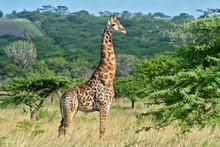 Giraffe In Hluhluwe Nationa Park