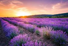 Blooming Lavender Field Under ...