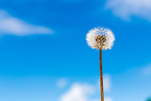 White Dandelion With Brown Gre...