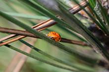 Ladybug Larva (Coccinellidae) ...