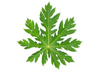 Papaya Leaf Isolated On White ...
