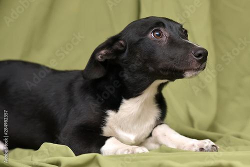 Fotografia black with a white dog mestizo ears up on a green background