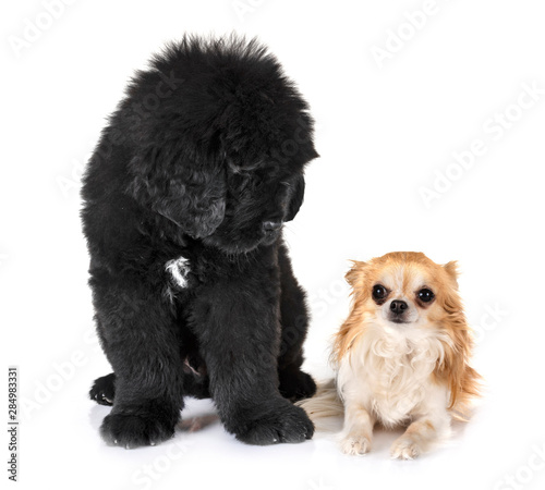 puppy newfoundland dog and chihuahua Fototapeta