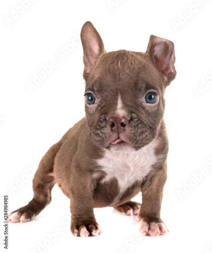Obraz puppy american bully in studio - fototapety do salonu