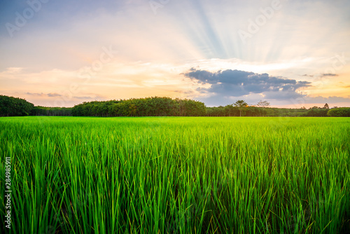 Foto op Plexiglas Groene Rice field rural with and colorful of sky in twilight