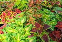 Coleus Blumei Plant Texture