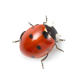 Fototapeta Łazienka - red ladybug on white background