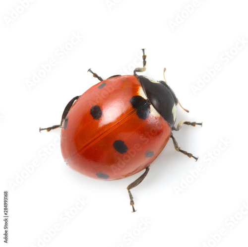 Fotografia, Obraz red ladybug on white background