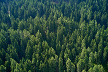 Plantation Of Spruce Trees. Top Down Aerial View. Green Spruce On The Slope Aerial View From The Side.