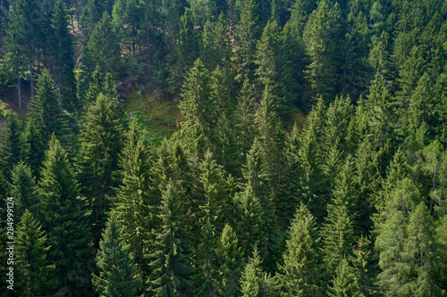 Fototapeten Wald Plantation of spruce trees. Top down aerial view. Green spruce on the slope aerial view from the side.