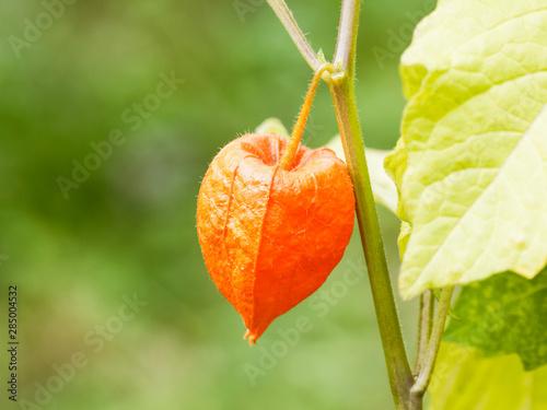 (Physalis alkekengi) Japanese-lantern, large and bright orange papery covering o Canvas Print