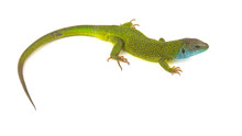 Green Lizard Isolated On White...