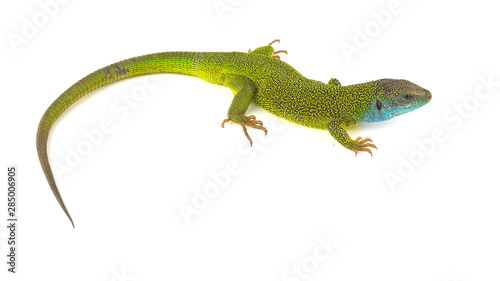 Green lizard isolated on white background Canvas Print