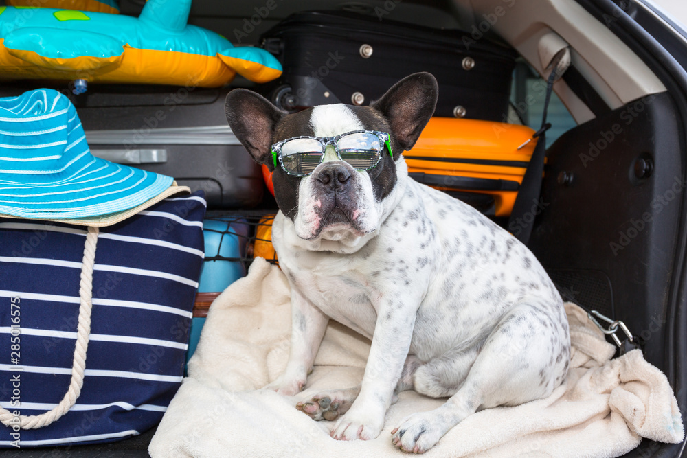French bulldog sit in the car trunk with luggage ready to go for vacations.