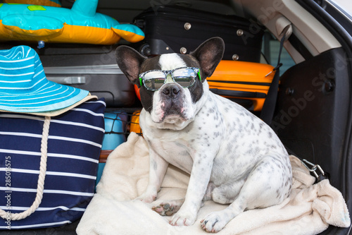 Staande foto Franse bulldog French bulldog sit in the car trunk with luggage ready to go for vacations.