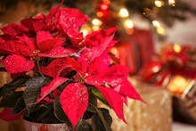 Christmas Star, A Red Poinsettia Flower With Decorative Snowflakes On Leaves Against Festive Holiday Background