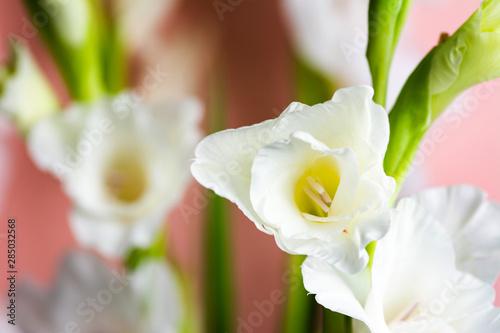 Fotobehang Zwavel geel Gladiolus flowers in blossom on pink background