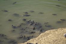 Mauremys Leprosa Galapago Leproso Laguna De La Barrera Malaga Colonia De Santa Ines Concentracion