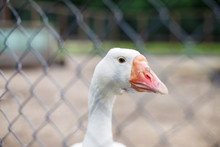Geese Behind The Fence. Close-...