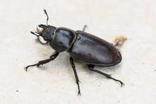 Big Female Stag Beetle Lucanus...