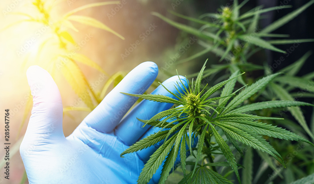 Fototapety, obrazy: large number of cannabis flowers the hands of Medetsinsky employee. Concept of herbal alternative medicine, cbd oil, pharmaceutical industry