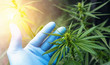 canvas print picture large number of cannabis flowers the hands of Medetsinsky employee. Concept of herbal alternative medicine, cbd oil, pharmaceutical industry