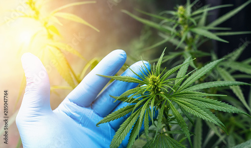 Fotografia  large number of cannabis flowers the hands of Medetsinsky employee