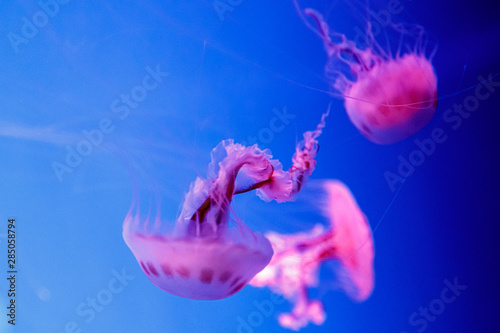 Photo  macro of a beautiful jellyfish chrysaora lactea