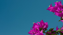 Bougainvillea Flower And Blue Sky, Spring Concept