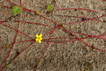 Small Yellow Flower Among Red Roots