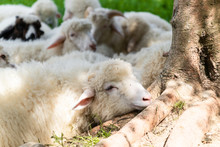 Flock Of Sheep Lying In A Green Meadow