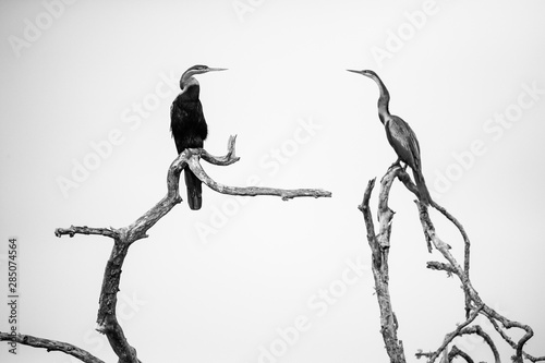 Fotografie, Obraz  Close up image of an african darter bird in an estuary in south africa