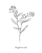 Vector Outline Forget Me Not Or Myosotis Flower, Bud, Leaves And Bunch In Black Isolated On White Background. Wild Plant Forget Me Not In Contour Style For Spring Design And Coloring Book.