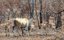 Adult Eland Antelope With Grou...