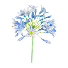 Agapanthus Bloom Flower Watercolor Isolated .agapanthus Bloom Flower On White Background. Watercolor Hand Painted Illustration Of Agapanthus Bloom Flower.