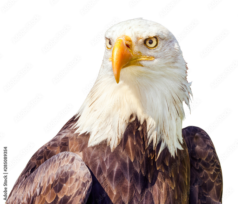 Fototapeta Bald Eagle (Haliaeetus leucocephalus) portrait. Isolated on white Background