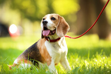 Beagle Dog Sitting On The Grass In Park