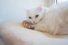 Beautiful White Cat With Mouse On His Head