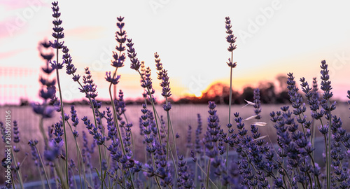 Photo sur Toile Aubergine lavender flower at sunset near a wheat field